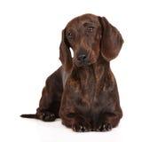 Perro basset de Brown que se acuesta Fotos de archivo libres de regalías