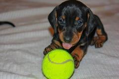 Perro basset de la raza del perrito foto de archivo libre de regalías