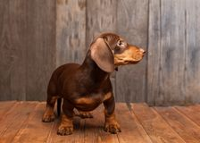 Perro basset de la raza del perro de perrito en el fondo de madera Imágenes de archivo libres de regalías