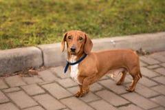 Perro basset de pelo corto en un paseo en el parque foto de archivo libre de regalías
