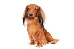 Perro basset de pelo largo miniatura Fotografía de archivo libre de regalías