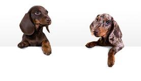Perro basset del perro con la cartelera en blanco Fotos de archivo