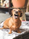Perro basset del gruñido foto de archivo