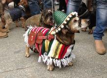 Perro basset del Mariachi Imagenes de archivo