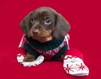 Perro basset del perrito de la Navidad Fotos de archivo libres de regalías