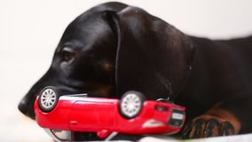 Perro basset del perrito que juega con el juguete almacen de metraje de vídeo