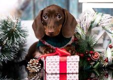 Perro basset del perrito y regalo de la Navidad imagen de archivo libre de regalías
