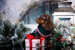 Perro basset del perrito y regalo de la Navidad imagenes de archivo