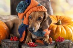Perro basset del perro en sombrero Fotos de archivo libres de regalías