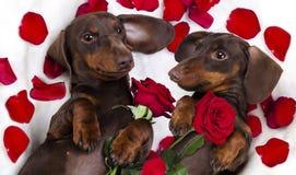 Perro basset del perro y rosas rojas fotos de archivo libres de regalías
