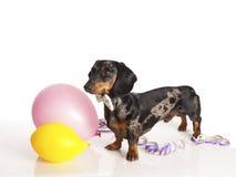 Perro basset del tigre con los globos del partido Fotografía de archivo libre de regalías