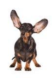 Perro basset divertido con los oídos en el aire Fotos de archivo libres de regalías