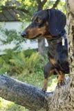 Perro basset Domingo del perro Foto de archivo