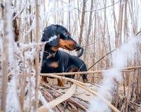 Perro basset Domingo del perro Fotografía de archivo