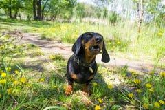 Perro basset Domingo del perro Imagen de archivo libre de regalías