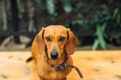 Perro basset en al aire libre Imagen de archivo libre de regalías