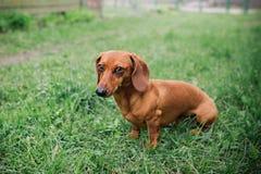 Perro basset en al aire libre Perro basset hermoso que se coloca en la hierba verde Perro basset liso-cabelludo estándar en la na Foto de archivo