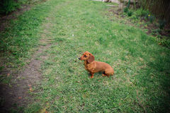 Perro basset en al aire libre Perro basset hermoso que se coloca en la hierba verde Perro basset liso-cabelludo estándar en la na Imágenes de archivo libres de regalías