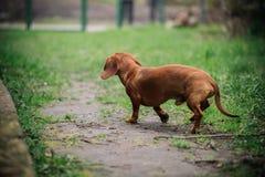 Perro basset en al aire libre Perro basset hermoso que se coloca en la hierba verde Perro basset liso-cabelludo estándar en la na Fotografía de archivo