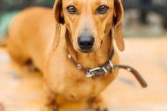 Perro basset en al aire libre Perro basset hermoso que se sienta en el w Imagen de archivo libre de regalías