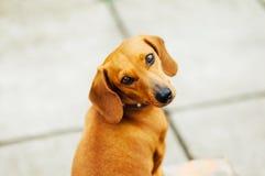 Perro basset en al aire libre Perro basset hermoso que se sienta en el w Fotografía de archivo