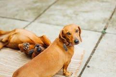 Perro basset en al aire libre Perro basset hermoso que se sienta en el w Imágenes de archivo libres de regalías