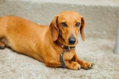 Perro basset en al aire libre Perro basset hermoso que se sienta en el w Fotos de archivo