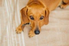 Perro basset en al aire libre Perro basset hermoso que se sienta en el w Fotos de archivo libres de regalías