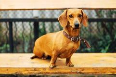 Perro basset en al aire libre Perro basset hermoso que se sienta en el w Fotografía de archivo libre de regalías