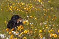 Perro basset en campo con las margaritas anaranjadas y amarillas Fotografía de archivo