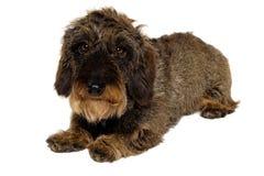 Perro basset en el fondo blanco Fotografía de archivo libre de regalías