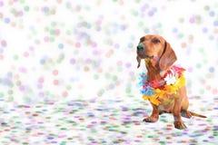 Perro basset en el partido del carnaval Imagen de archivo libre de regalías
