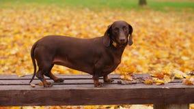 Perro basset en hojas de arce amarillas en parque del otoño almacen de video