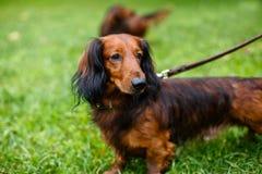 Perro basset en un correo en la hierba verde Fotos de archivo libres de regalías