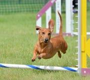 Perro basset en un ensayo de la agilidad del perro Foto de archivo
