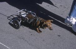 Perro basset físicamente desafiado en Doo Dah Parade, Pasadena, California fotografía de archivo libre de regalías