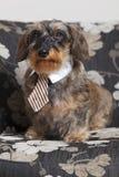 Perro basset lindo con el lazo Imagen de archivo