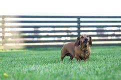 Perro basset liso-cabelludo estándar en el jardín imagen de archivo libre de regalías