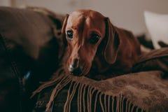 Perro basset marrón liso de un año que se sienta en los amortiguadores y un tiro en un sofá dentro del apartamento, mirando en la Fotografía de archivo