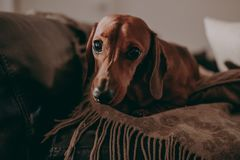 Perro basset marrón liso de un año que se sienta en los amortiguadores y un tiro en un sofá dentro del apartamento, mirando en la Imagen de archivo libre de regalías