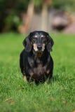 Perro basset mayor negro al aire libre Imagen de archivo