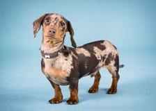 Perro basset miniatura Fotos de archivo
