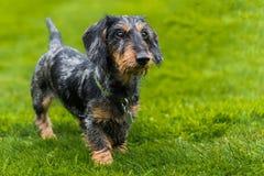 perro basset miniatura Alambre-cabelludo que camina a través de campo imagen de archivo