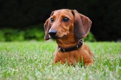 Perro basset miniatura en parque Foto de archivo