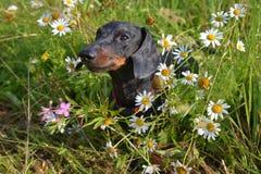 Perro basset mojado con rocío entre las flores Foto de archivo