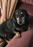 Perro basset negro fotografía de archivo