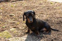 Perro basset negro femenino que se sienta en el día soleado en la hierba Concepto animal con el perro que se sienta en la hierba imágenes de archivo libres de regalías