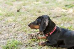 Perro basset negro que pone en la hierba y que marca en el lado imágenes de archivo libres de regalías
