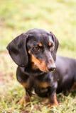 Perro basset negro que se sienta en la hierba con el foco selectivo imágenes de archivo libres de regalías
