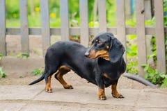 Perro basset negro Un perro adulto Mirada al lado edad 2 años Foto de archivo